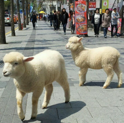 Thanks nature cafe- Seoul, dine with sheep